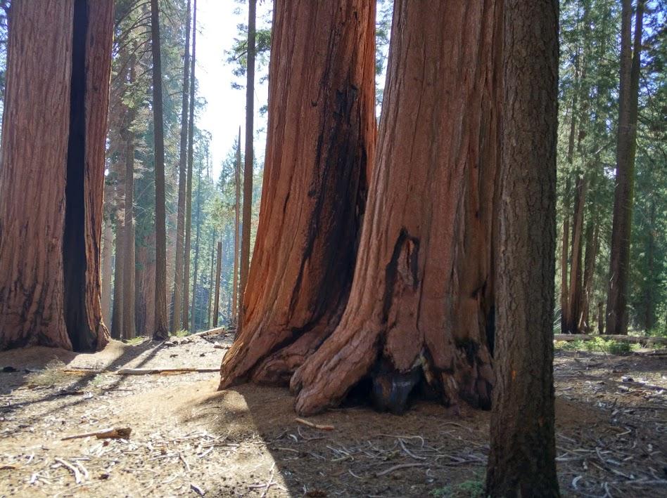 sekwoja w Sequoia Park